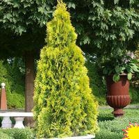 Туя западная (Thuja occidentalis `Golden Smaragd` )